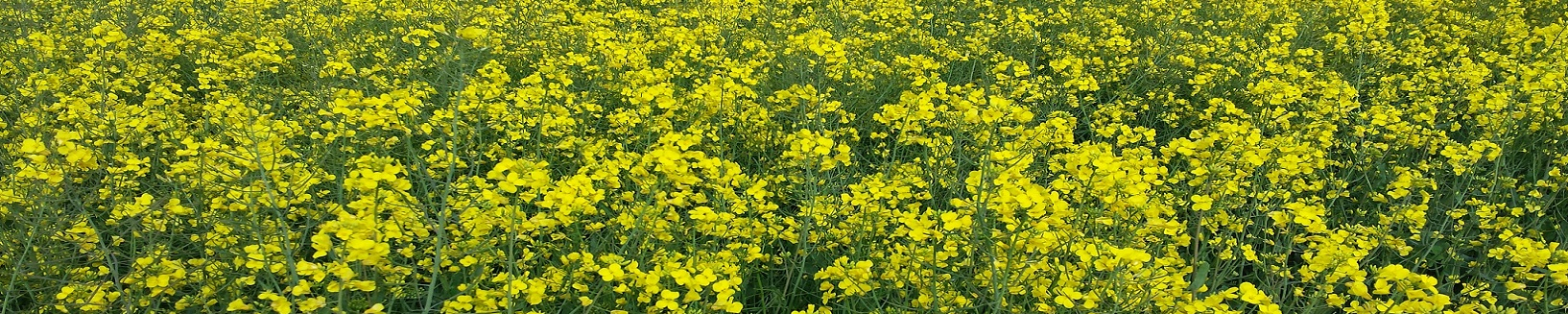 Oilseed Rape- Internal Header.jpg