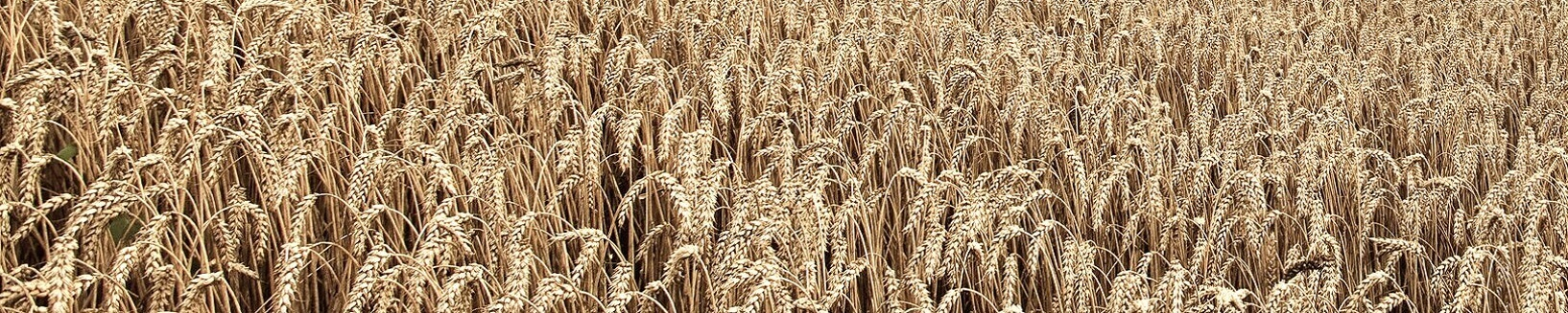 Ripe Wheat.jpg