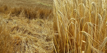 Barley- Farm practice vs GrowHow advise.jpg