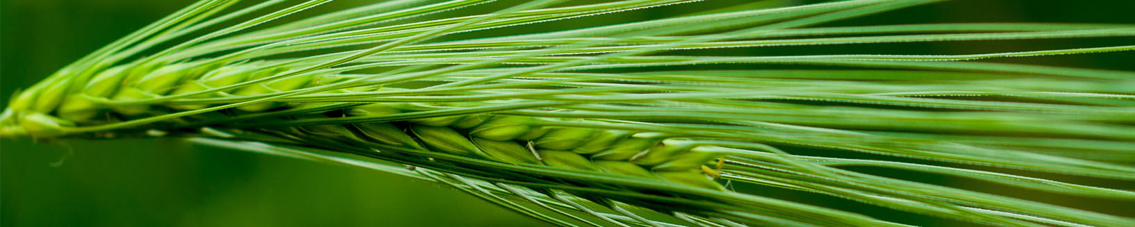Barley- internal header.jpg